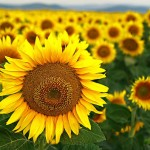 CE_Summer_Sunflower_maincolumn