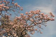 śliwa wiosnaflower-3309943_960_720